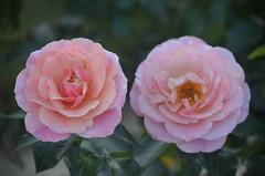 Deux roses (StephUSA) Tags: rose fleur nikond5100 nikon flou net thabor parcduthabor jardin parc