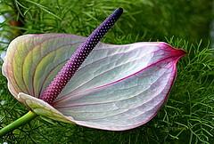 Anthurium (abrideu) Tags: abrideu canoneos100d anthurium depthoffield flower macro bokeh plant indoor white ngc npc