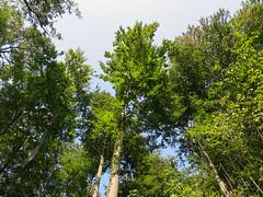 IMG_5231 (jaglazier) Tags: 2016 91416 bielefeld coniferoustrees conifers copyright2016jamesaglazier deciduoustrees germany hills september teutoburg teutoburgforest teutoburgerwald trees landscapes mountains parks