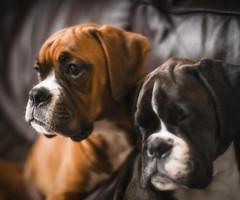 The Boys (Mark Littlejohn) Tags: nikondf nikon50mmf12ais 12 lightroom boxerdog puppy