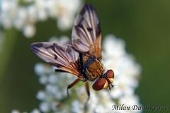 muha gusjeniarka, Pleivica (mdunisk) Tags: muha muhe kukac kukci insekt muhagusjeniarka phasiahemipter mdunisk kotari oki otrc rude okikapoljanica okinica tachinidae