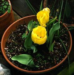 Tulips (TWE42) Tags: flowers tulips rangefinder fujicolor jupiter8 zorki4k russisncameras