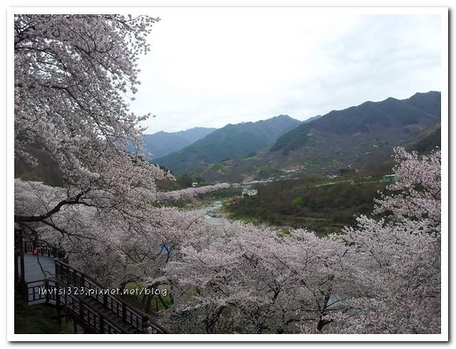 화개십리벚꽃길02