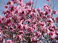 Magnolia campbellii (Kniphofia) Tags: