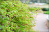 japanese maple flowers (ChristianRock) Tags: garden georgia 50mm pentax roswell f2 manual manualfocus 50mmf14 rikenon roswellga ricoh50mmf14 rikenon50mmf14 k20d pentaxk20d rikenonxr50mmf14