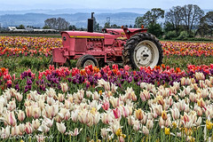 Tulips (leon_roland) Tags: flowers tractor oregon unitedstates farm tulip woodenshoe johndeere woodburn