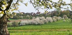 Kirschblte in Kalchreuth (fotomanni.de) Tags: bayern franken nrnberg mittelfranken kirschblte kalchreuth
