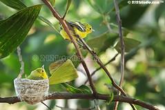 Ready for second flight (2121studio) Tags: bird nature nikon ali malaysia indah oiseau kuantan alam burung birdphotography nikonian d90  malaysianphotographer  momandkids commoniora aegithinatiphia ibudananak kasihsayang 2121studio kuantanphotographer pahangphotographer  ciptaanallahswt burungkunyitkecil burungkelicapkunyit  avedeasia  burungmerbahkunyit birdfeedingtheirchicks