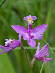 Calopogon tuberosus (Common Grass-pink orchid) (jimf_29605) Tags: orchids southcarolina olympus wildflowers 50200mm zuiko e5 zd calopogontuberosus greenvillecounty evachandlerheritagepreserve commongrasspinkorchid