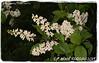 Prunus padus 'Bird Cherry' (farmer dodds) Tags: tree cherry herb prunus codurham rosaceae birdcherry prunuspadus shincliff
