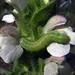 oruga verde * Noctuidae * falsa medidora
