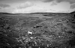 Doris on Bollihope . (wayman2011) Tags: dogs canon rocks fells doris dales pennines lightroom countydurham weardale jackrussels bwlandscapes canon50d bollihope quarrys