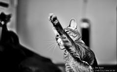 Sparta! (joeovario) Tags: gatos animales d700
