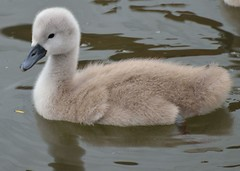 2015 05 25 247 KA Canal (Mark Baker, photoboxgallery.com/markbaker) Tags: uk family england west bird english nature birds canal photo spring swan europe european baker britain 10 mark wildlife united great young cygnet may kingdom swans photograph ten gb british chicks berkshire kennetandavon avon mute newbury cygnets offspring kennet hatchlings 2015 picsmark