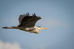 Graureiher (National Wildlife Photographer) Tags: sky bird see wasser wildlife natur grau vogel reiher graureiher