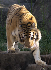 step lightly (ucumari photography) Tags: sc animal cat mammal south tiger columbia bigcat carolina april riverbankszoo 2015 dsc1028 specanimal ucumariphotography