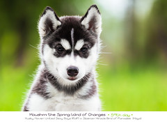 Day 59 Maushmi (Emyan) Tags: dog animals puppies husky sale siberian