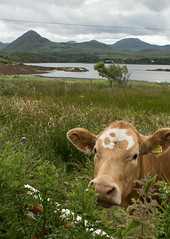 Garden visitor (arripay) Tags: ireland holiday galway cow cottage pins connemara beg bens twelve letterfrack dawros