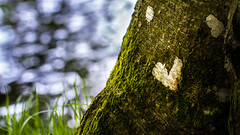 L'amour est partout o tu regardes (Coeur tranger) Tags: coeur corao heart nature natureza bokeh profondeurdechamp arbre rvore lquen lichen