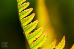 Fern (Overtherainbow changes to KV Photography) Tags: kvphotography katerinavodrazkova priroda nature flowers kvetiny macro dendrologickazahrada pruhonice fern kapradi ferns wodland forest green