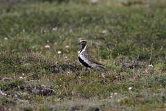 European Golden Plover (jameslidster1) Tags: travel bird james iceland wings tour birding seabird sunbird ijsland lidster