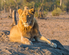 Basking (MarcCooper_1950) Tags: lion lioness africa wild wildlife bush safari bigfive predator bigcats biggame animals feline fauna goldenhour sabisands arathusa lodge marccooper panasonic lumix fz1000 leica iightrrom hdr