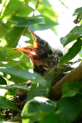 Baby Robin (Allison Faust Branson) Tags: bird robin baby nikon nikond600