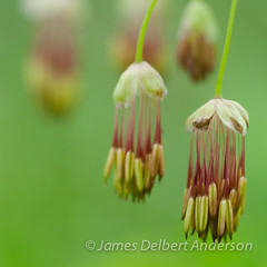 Meadowrue (jamesdelbertanderson) Tags: meadowrue thalictrum thalictrumoccidentale macro wildflowers kamiakbutte palouse nature washington pnw westernmeadowrue