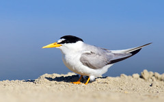 Least Tern (Thy Photography) Tags: bird nature animal photography backyard outdoor wildlife fullframe tern avian leasttern canon600mmf4 canoneos1dx