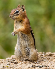 Golden-mantled Ground Squirrel (Lindell Dillon) Tags: goldenmantledgroundsquirrel rodent colorado archuletacounty nature lindelldillon tamron