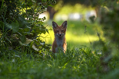 Renard roux juvénile - Red Fox juvenile (Monique Coulombe) Tags: fauneduquébec fantasticnature quebecwildlife québec québecnaturesauvage quebec québécois wildlife wildnature canada canadianwildlife photonature photographequébécois nature nationalgeographic naturesauvage ngc naturephotography naturequébec renard fox vulpesvulpes renardcommun animalia chordata mammalia moniquecoulombe carnivora caniformia canidae mammifère