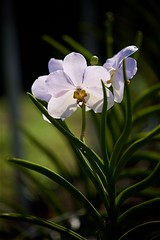 FS9A0133 (dSLRartist) Tags: canon ef70200mm f28l eos 5d mark3 orchid colours flowers sir happy joy nature