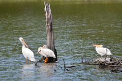 Pelicans Pruning (Buzz Hoffman) Tags: minnesota renvillecounty macklakepark pelican americanwhitepelican