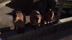 (yuki_alm_misa) Tags:   animal zoo  ishikawazoo capybara