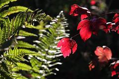 ckuchem-5463 (christine_kuchem) Tags: herbst garten farn bunt farben leuchten naturgarten herbstgarten