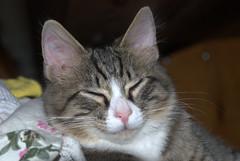 snoozin (Bets<3 Fine Artist ~Picturing Light ~ Blessings ~~) Tags: mainethewaylifeshouldbe mainenortheasternunitedstates kitten cute sleeping whiskers closeup whistlebower riskingmylifetoinformthepublic dof earscolor light shadow