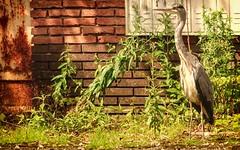 Hron cendr (Yasmine Hens) Tags: bird europa flickr belgium ngc oiseau namur hens hron yasmine wallonie hroncendr world100f iamflickr flickrunitedaward hensyasmine