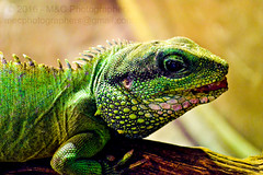 Another... Not so might, Lizard. (Mark & Cy Photos) Tags: life lighting camera light wild portrait pet detail up animal rock vertical stone closeup composition photography photo still close view angle natural reptile interior crafts wildlife bottom profile arts style gear indoor artificial lizard beast format material framing dslr setting orientation lizards animalia genre chordata tetrapoda squamata lacertilia sauropsida flickryes geocodedyes
