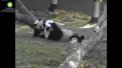 2016_07-15h (gkoo19681) Tags: nationalzoo stealing meixiang beibei sharingiscaring ccncby treatring