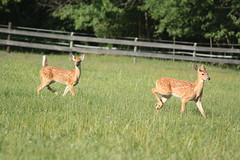 IMG_9225 (thinktank8326) Tags: nature wildlife deer spots fawn whitetaileddeer babyanimal