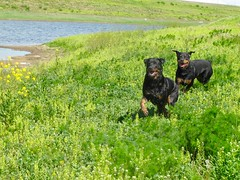 IMG_0055 (SpiderMiau) Tags: rottweiler walk dog play bark calgary alberta