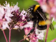 swietlik.eu_160715162727 (a.swietlik) Tags: flower macro nature natura bee makro kwiat pszczoa
