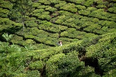 It's A Daunting Job (The Spirit of the World) Tags: india tea mosaic patterns crop designs agriculture teaplantation munnar southernindia teaterraces