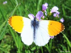 Butterfly 981 (+310000 views!) Tags: butterfly papillon borboleta mariposa farfalla schmetterling