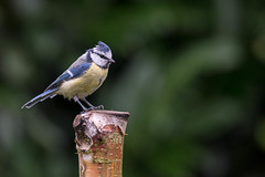 Blue Tit  |  Blaumeise (abritinquint Natural Photography) Tags: bird vogel natural wildlife nature wild nikon d750 telephoto 300mm pf f4 300mmf4 300f4 nikkor teleconverter tc17eii pfedvr germany garden garten perch tree stump