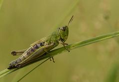 Gemeiner Grashfer (normen.nikon) Tags: natur wildlife tiere insekten