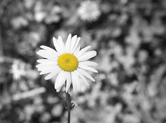 You are my sunshine (Photato Jonez) Tags: flower flowers petal petals flora botany daisy selective desaturation you sunshine alex day nikon d3300