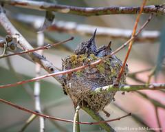 Anna's Hummingbird Nest (BradRLewis) Tags: annashummingbird iml juvenile nest beach ucsc nature bird birds chick hummingbird
