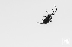 One Hundred Fifteen. (williamhughes) Tags: nikon d7000 wi wisconsin william williamhrhughes summer midwest photographer photography 365 project my365 photo monontone mono blackwhite bw monochrome milwaukee spider insect nature city
