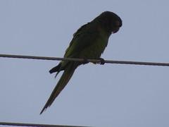 DSC05134 (familiapratta) Tags: sony dschx100v hx100v iso100 natureza pssaro pssaros aves nature bird birds novaodessa novaodessasp brasil